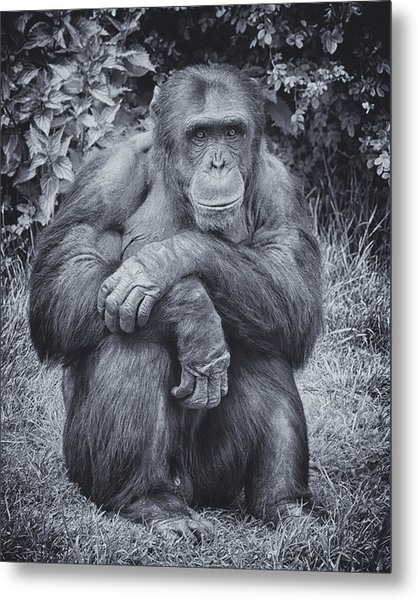 Portrait Of A Chimp Metal Print