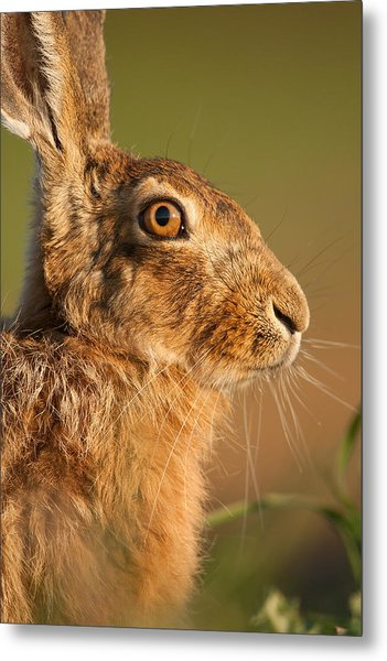 Portrait Of A Hare Metal Print