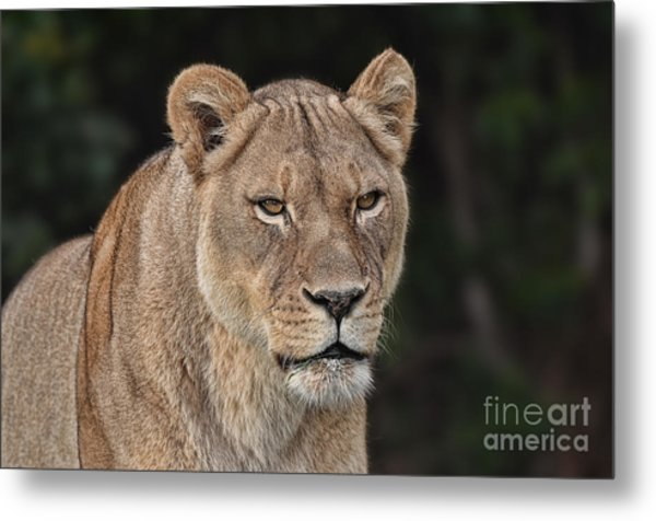 Portrait Of A Lioness II Metal Print