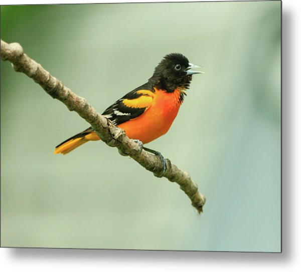 Portrait Of A Singing Baltimore Oriole Metal Print