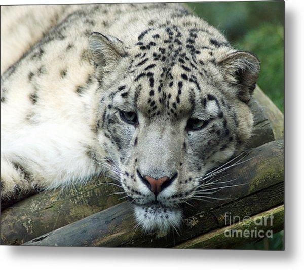 Portrait Of A Snow Leopard Metal Print