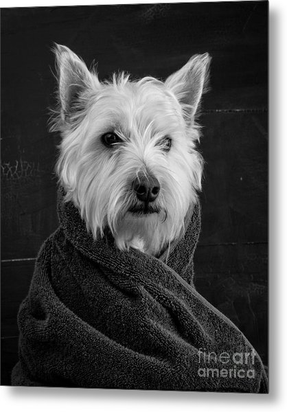 Metal Print featuring the photograph Portrait Of A Westie Dog 8x10 Ratio by Edward Fielding