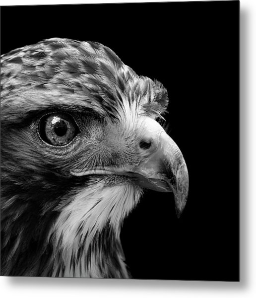 Portrait Of Common Buzzard In Black And White Metal Print