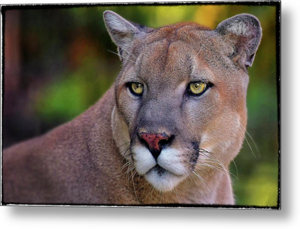 Portrait Of  Cougar  Metal Print