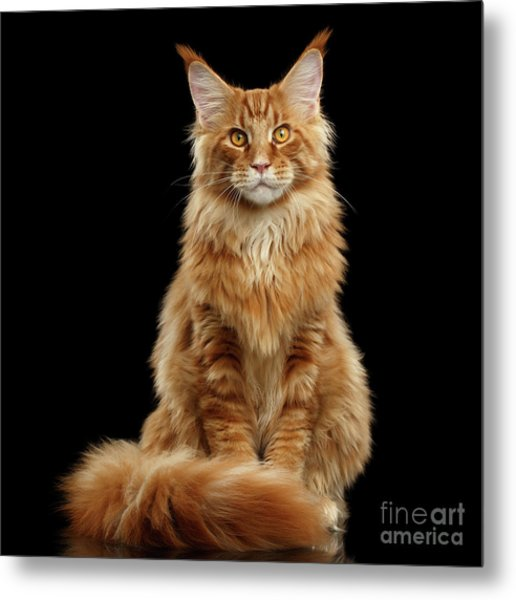 Portrait Of Ginger Maine Coon Cat Isolated On Black Background Metal Print