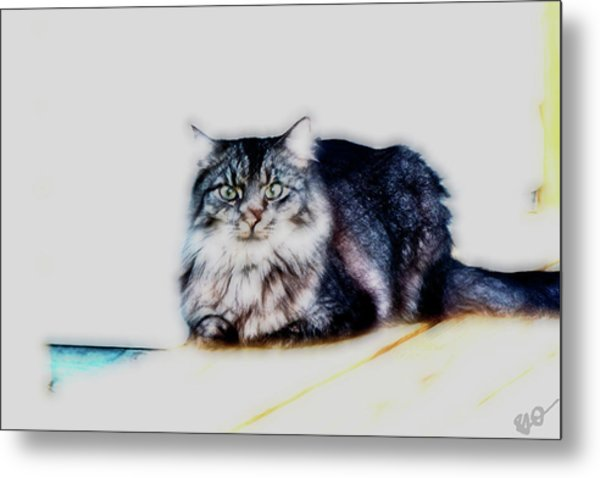 Portrait Of Maine Coon, Mattie Metal Print