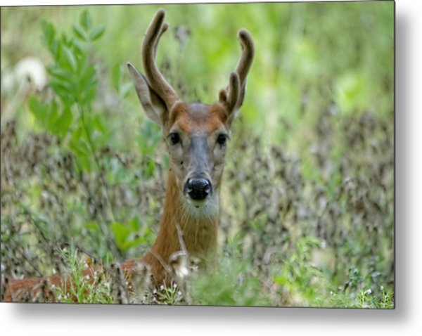 Portriat Of Male Deer Metal Print