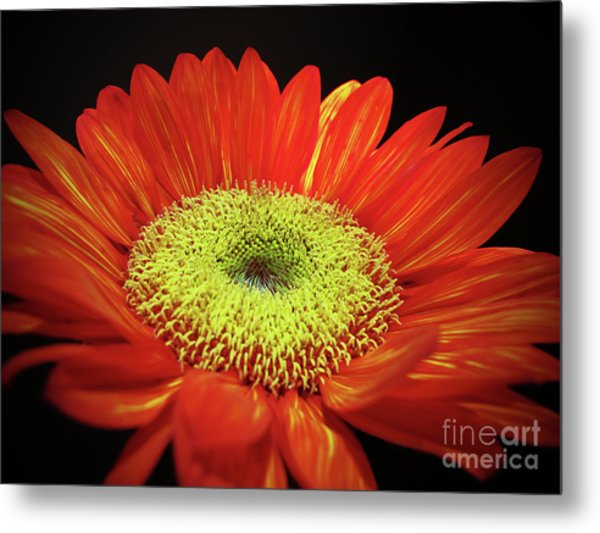 Prado Red Sunflower Metal Print