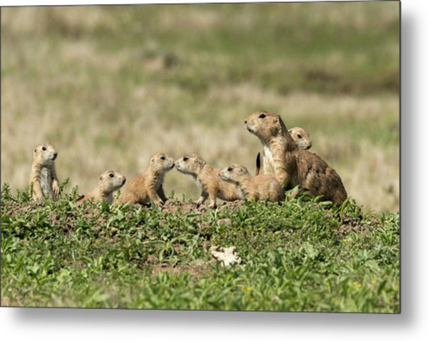 Metal Print featuring the photograph Prairie Dog Family 7270 by Donald Brown