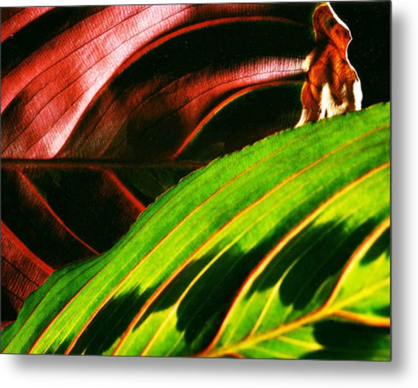 Prayer Plant Passing Metal Print