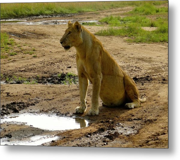 Pregnant Lioness Sitting Metal Print