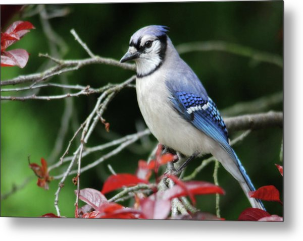 Pretty Blue Jay Metal Print
