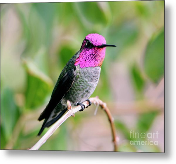 Pretty In Pink Anna's Hummingbird Metal Print