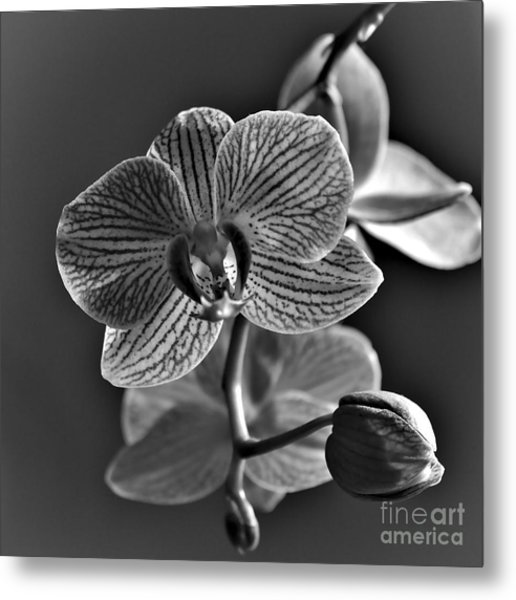 Metal Print featuring the photograph Pretty Orchid Bw by Jeremy Hayden
