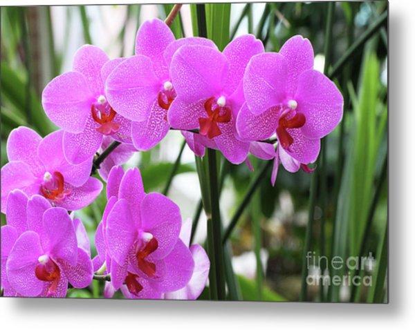 Pretty Pink Phalaenopsis Orchids #2 Metal Print