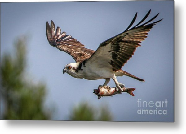 Prey In Talons Metal Print