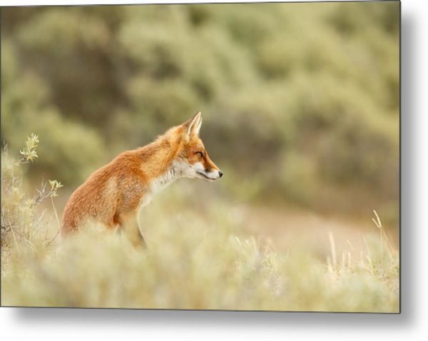 Princess Of The Hill - Red Fox Sitting On A Dune Metal Print
