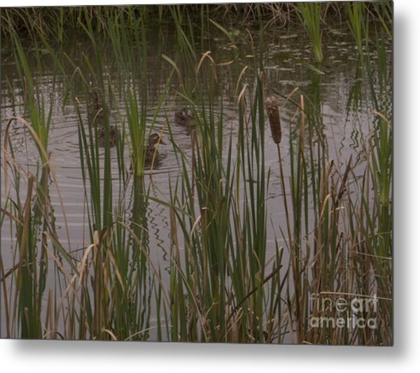 Private Duck Swimming Hole 2 Metal Print