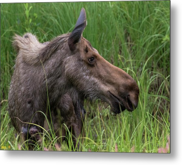 Profile Of Wild Moose Metal Print
