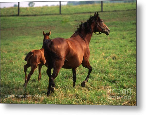 2f205 Protective Mare And Foal Metal Print