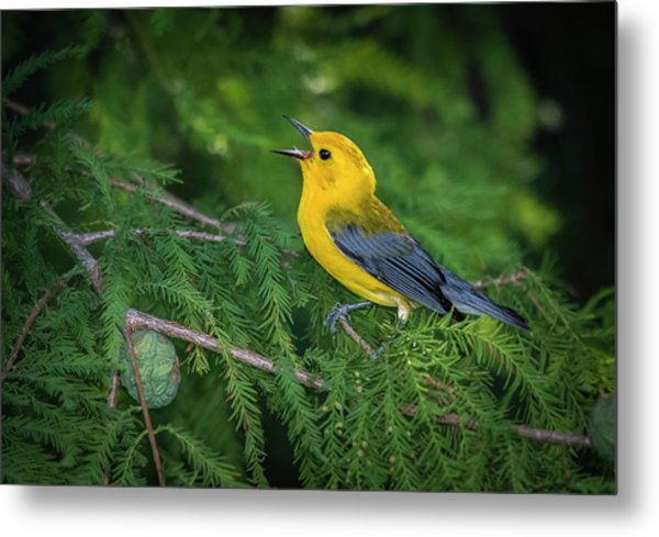 Metal Print featuring the photograph Prothonatory Warbler 9809 by Donald Brown