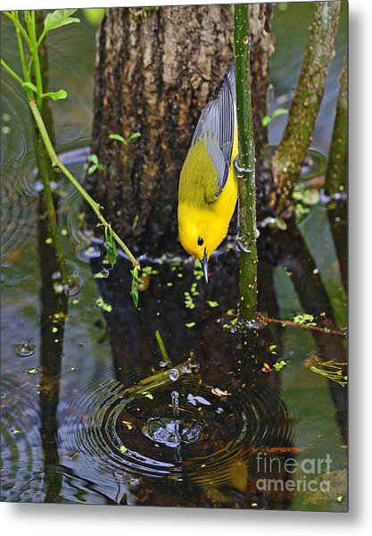 Prothonotary Warbler Metal Print