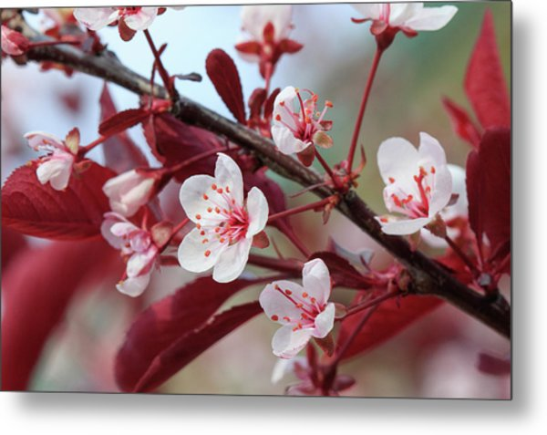 Prunus Cistena Metal Print by Rodger Werner