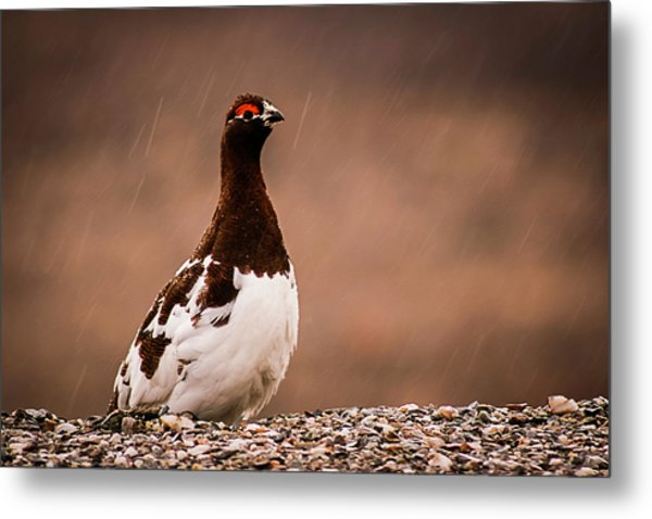 Ptarmigan Denali National Park Metal Print