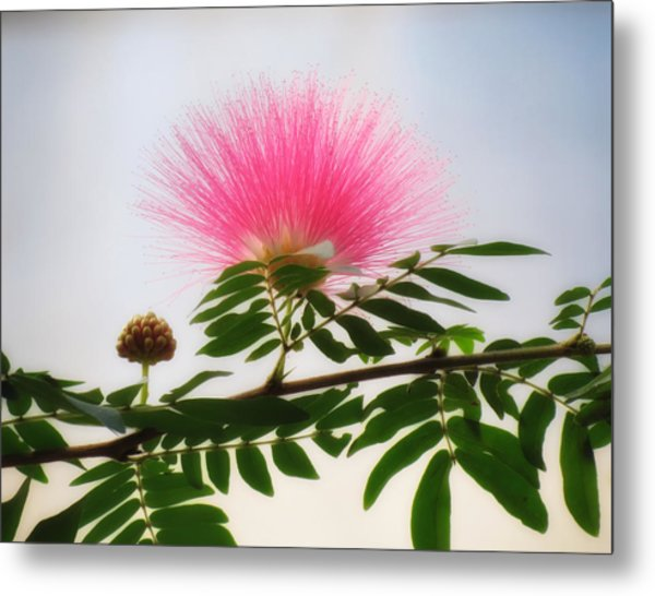 Puff Of Pink - Mimosa Flower Metal Print