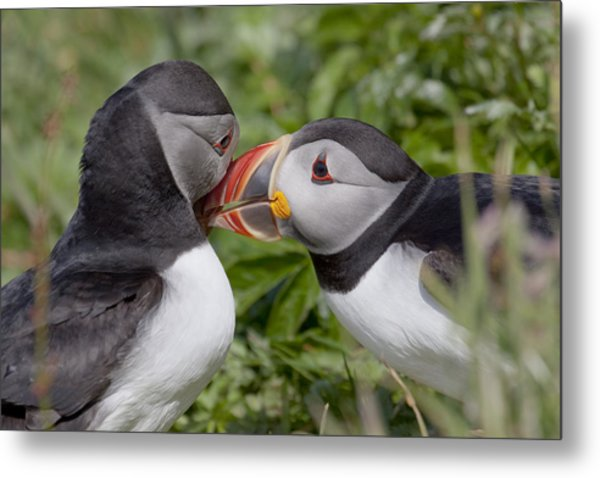Puffin Love Metal Print
