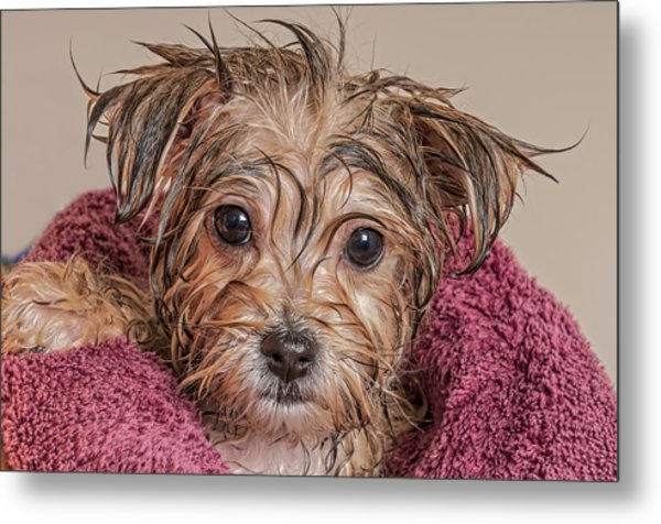 Puppy Getting Dry After His Bath Metal Print