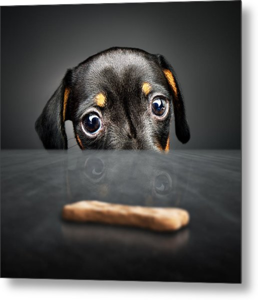 Puppy Longing For A Treat Metal Print