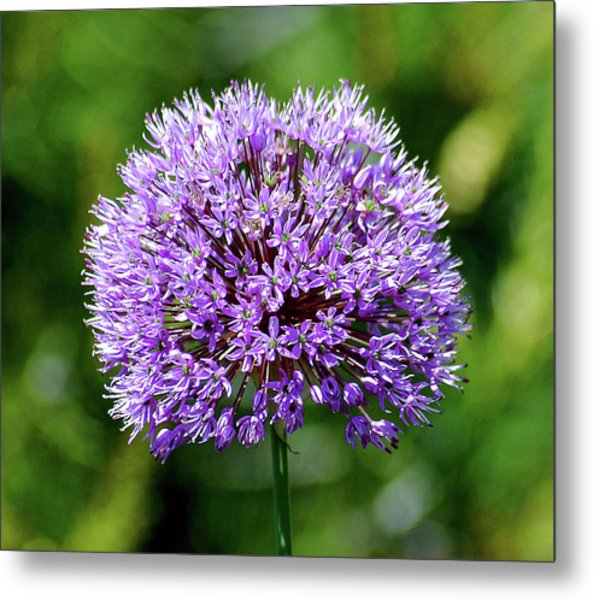 Purple Allium Metal Print