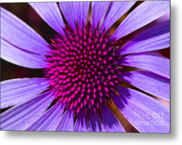 Purple And Pink Daisy Metal Print