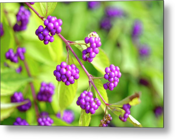 Purple Berries Metal Print