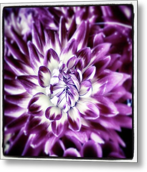 Purple Dahlia. A Color Variation Of The Metal Print by Mr Photojimsf