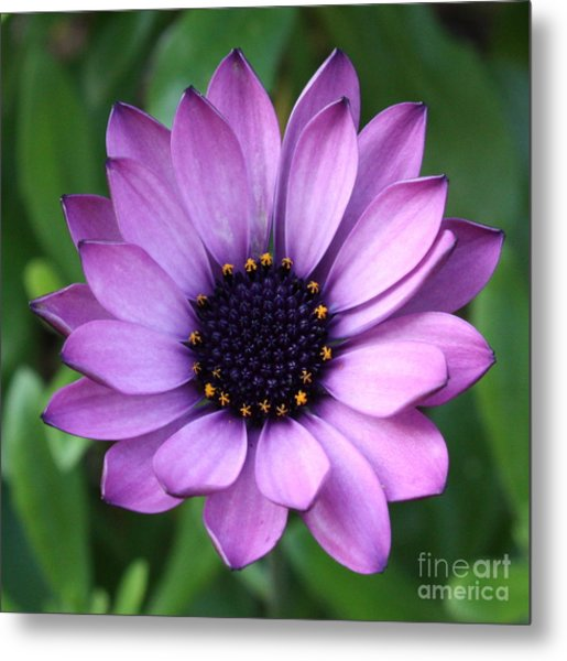 Purple Daisy Square Metal Print