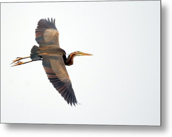 Purple Heron In Flight Metal Print