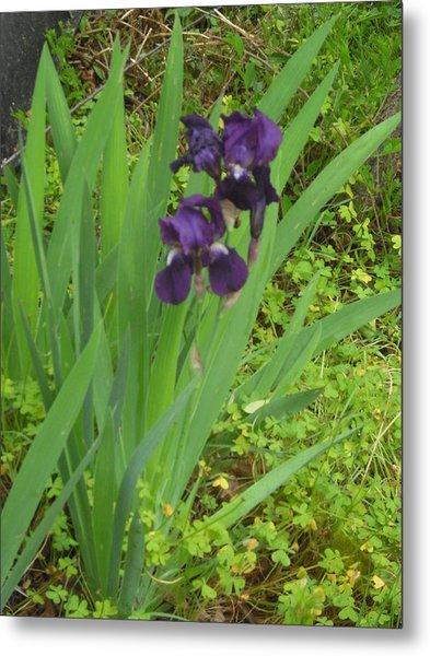 Purple Iris With Green Leaves Metal Print by Sharon McKeegan