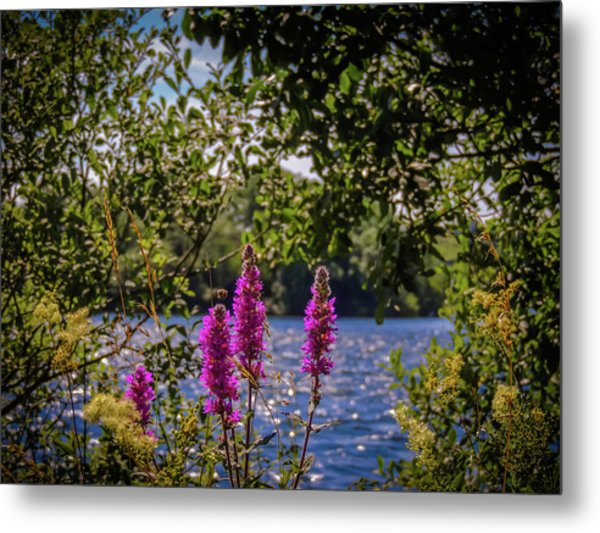 Metal Print featuring the photograph Purple Loosestrife In The Irish Countryside by James Truett