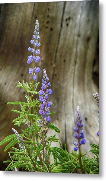 Purple Lupine Metal Print