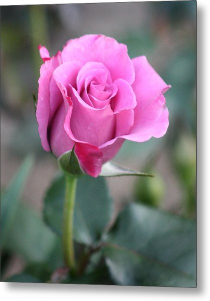 Purple Rose Metal Print