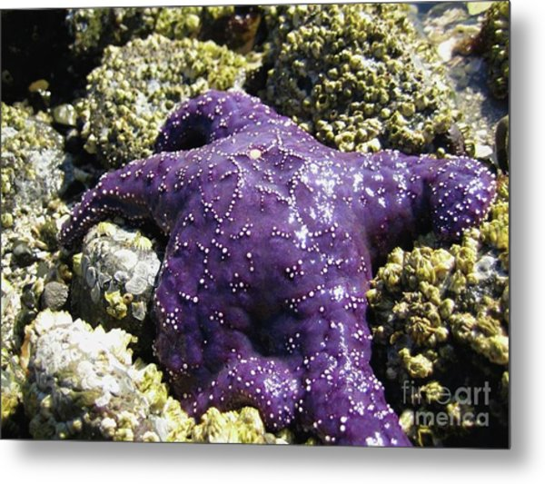 Purple Star Fish Metal Print