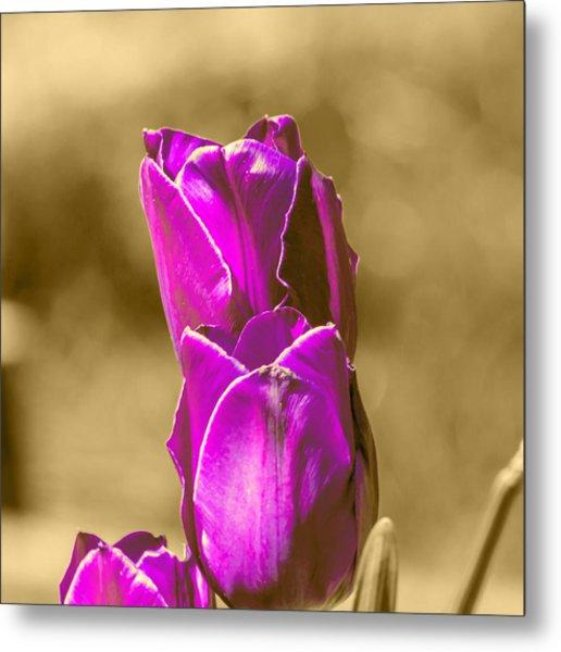 Purple Tulips Sepia Background Metal Print