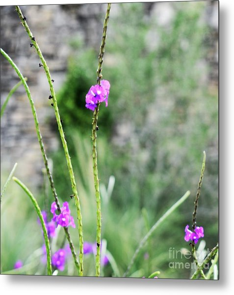 Purple Vebena Metal Print