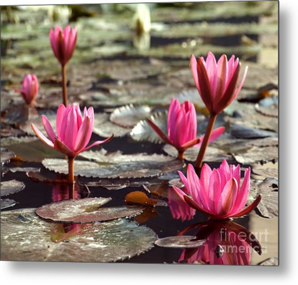 Purple Water Lillies Metal Print