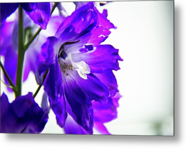 Purpled Metal Print
