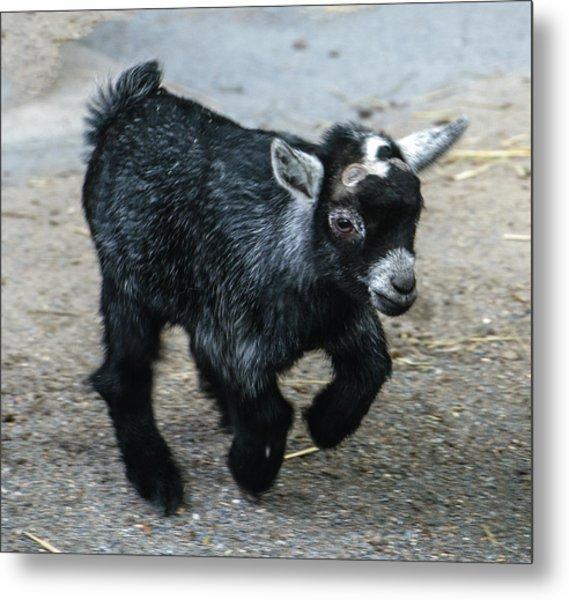 Pygmy Goat Kid Metal Print