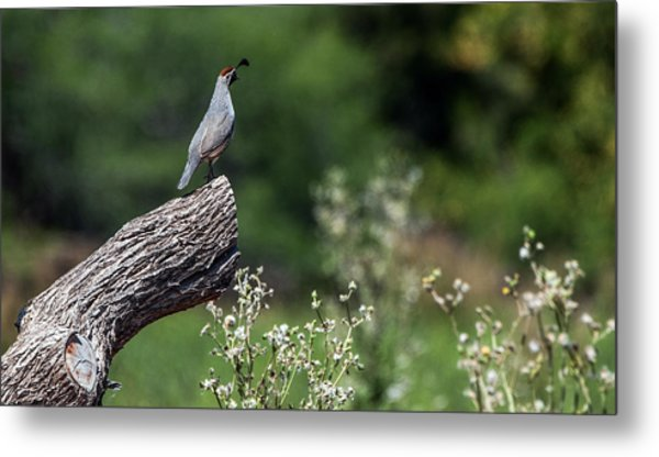 Quail Watching Metal Print