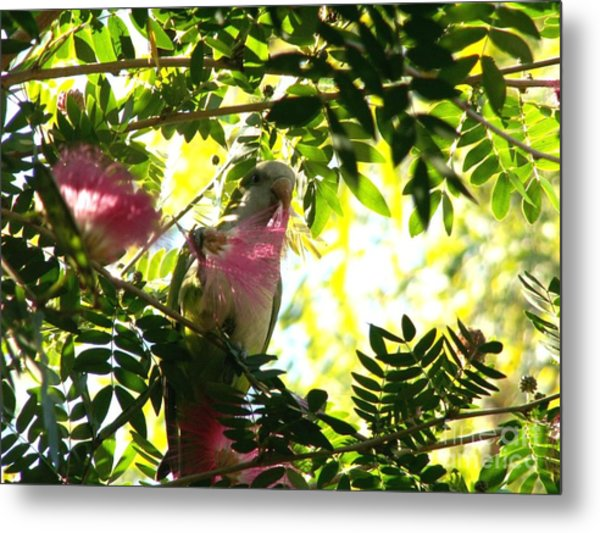Quaker Parrot With Mimosa Flower Metal Print